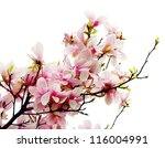Magnolia blossoms - stock photo