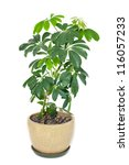 Home Plant In A Pot Isolated O...