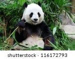 giant panda bear eating bamboo | Shutterstock . vector #116172793