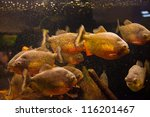 Shoal Of Tropical Piranha...