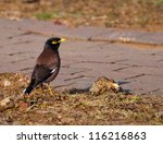 An Indian Myna Bird Near A...