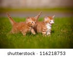 Stock photo two red kittens playing outdoors 116218753