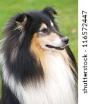 A Black And Tan Rough Collie...