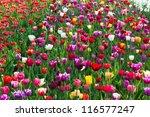 Multicolored Tulip Field In...