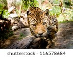 Large male jaguar jumping towards camera - stock photo