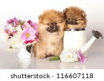 Two German (Pomeranian) Spitz puppies and flowers on white background - stock photo