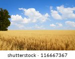 field of oats and tree | Shutterstock . vector #116667367
