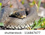 Funny Grass Snake  Taken In...