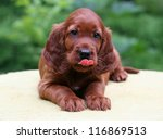 Cute Irish Setter puppy licking his lips - stock photo
