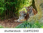 Small photo of Two Cute Amur Tiger Cubs in Rocky Shelter Panthera tigris altaic