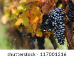 Red grape with colorful foliage - stock photo