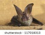 brown long eared bat | Shutterstock . vector #117018313