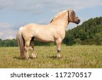 Portrait of nice fjord horse - stock photo