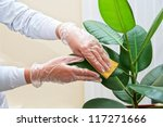 Hand at gloves cleaning ficus plant by wet sponge - stock photo