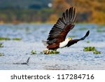 African fish eagle, Naivasha Lake National Park, Kenya - stock photo