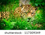 Jaguar in wildlife park of Ecuador - stock photo