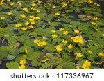 little yellow waterlily in...   Shutterstock . vector #117336967