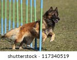 Belgian shepherd in the agility slalom - stock photo