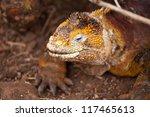 Galapagos Konolof  Conolophus...