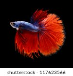 BETTA FISH on black background - stock photo