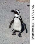 African penguins or Black-footed Penguin at South Africa's Table Mountain National Park - stock photo