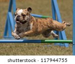 Jumping English bulldog - stock photo