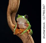 Small photo of treefrog Agalychnis spurrelli or the flying tree frog of the Amazon rain forest lives in Costa Rica Panama Ecuador and Colombia beautiful nocturnal amphibian of the tropical jungle