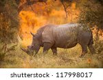 Rhinoceros In Late Afternoon ...