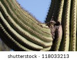 Female Cactus Wren Carries...