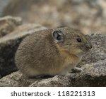 pika closeup   Shutterstock . vector #118221313