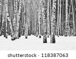 Birch Forest In Winter In Blac...