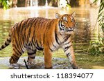 wet tiger coming out of the... | Shutterstock . vector #118394077