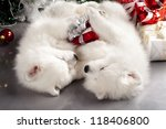 Japanese white spitz and New Year gift - stock photo