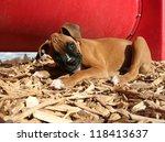 A Cute Boxer Puppy At A Dog Park