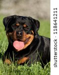 Portrait of nice Rottweiler in the meadow - stock photo