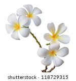 white frangipani flower isolated white - stock photo