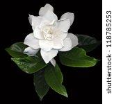 Large White Gardenia Flowers...