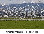 A Large Flock Of Snow Geese...