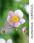 Japanese anemone flowers, blooming in the beginning of September. - stock photo