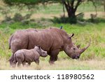 White rhinoceros or square-lipped rhinoceros (Ceratotherium simum) with her baby in Lake Nakuru National Park, Kenya. The white rhinoceros is one of the five species of rhinoceros that still exist. - stock photo