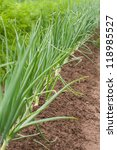 Small photo of Fresh Spring onions (Allium cepa) growing in a garden.