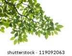 Xxxl  Isolated Green Leaf On...