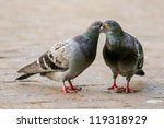 Two pigeon kissing by inter locking their beaks - stock photo