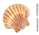 Clam in front of white background - stock photo
