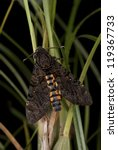 Small photo of Death's Head Hawk Moth - Acherontia lachesis