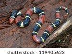 Surinam Coral Snake  Micrurus...