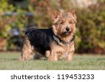 Portrait of nice norwich terrier - stock photo