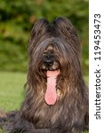 Portrait of nice briard - stock photo