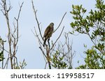 Small photo of beautiful Chinese Sparrowhawk (Accipiter soloensis) looking for food near the sea shore