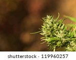 female cannabis plant | Shutterstock . vector #119960257